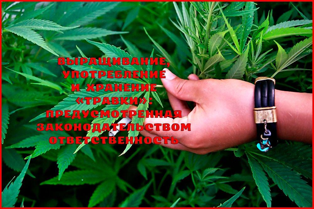 Ответственность за выращивание, употребление и хранение «травки»